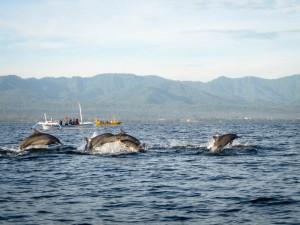 Delfine in Lovina-3