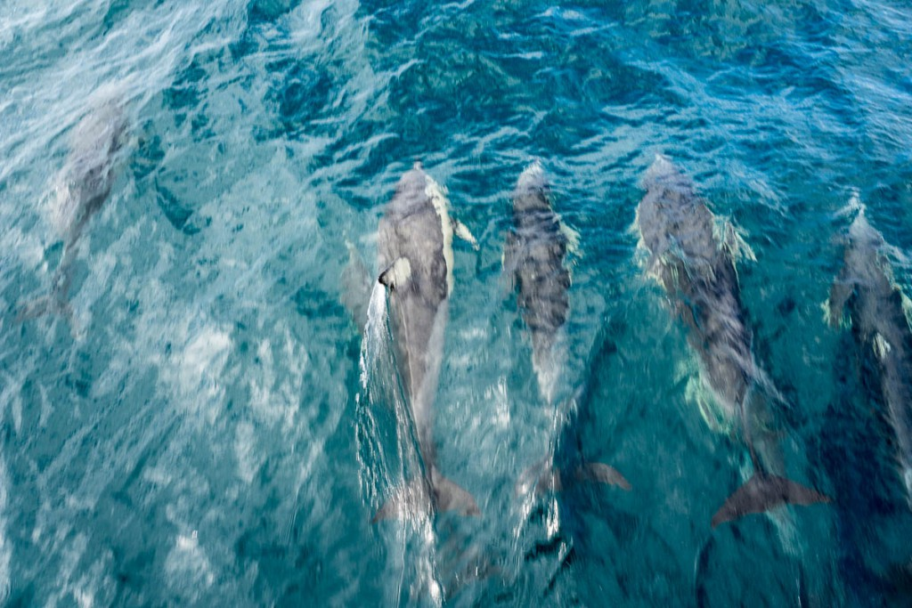 Dolphins Bay of Islands